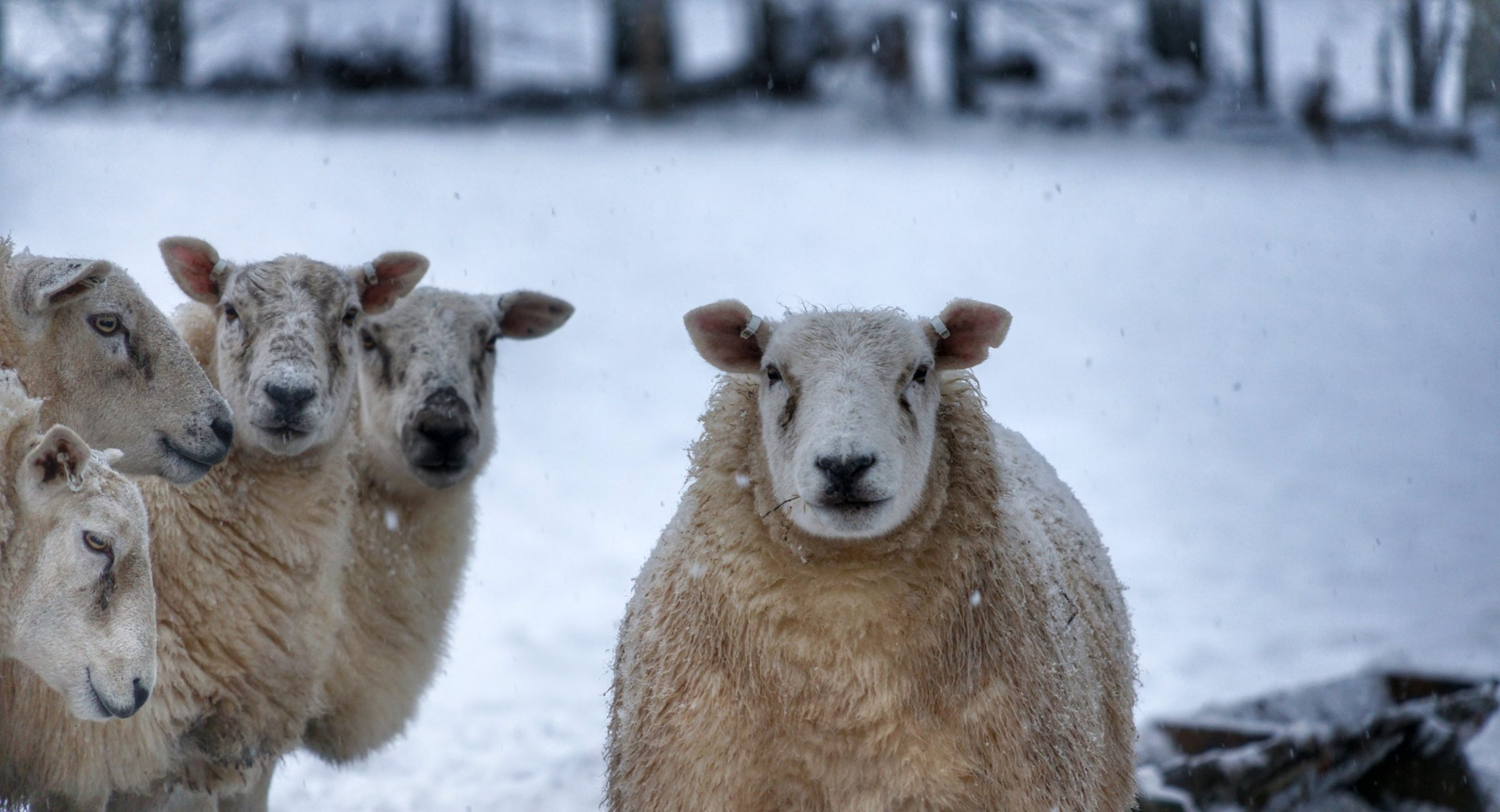 sheep looking into camera on snowy day